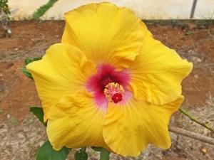 タンゼントイエロー・・・黄色系品種は沢山ありますが、どの花もそれぞれ独特の色あいをしています。微妙に違うのです。この品種は、その中でも一番鮮やかなレモン色に近い黄色をしています。