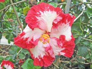 フージャーズ・・・白い花弁に赤い縁どり、ハイビスカス愛好家の中には「クジラベーコン系」と呼ぶ者も・・・。インディアナ州の住人、出身者を「フージャーズ」と称するそうです。