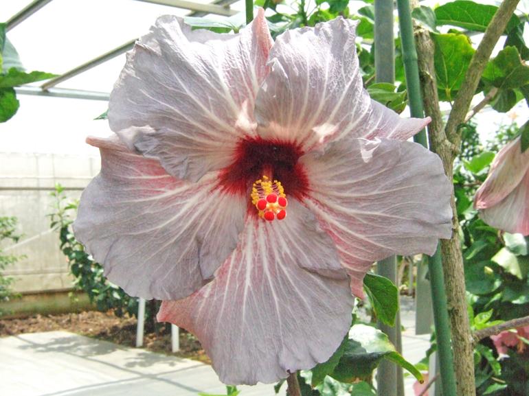 プラムクレージー・・・うす紫の花を咲かせる時期が長いのですが、季節によっては、希少なメタリックカラーになる品種です。ぜひご一見下さい。
