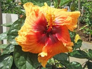 ホーキーホーキー・・・濃ーいオレンジ色と、真ん中の大きな赤丸が魅力的な品種です。雄々しい姿の、勇ましいハイビスカスですね。