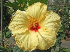 ホニホニ・・・ ちりめんのような質感の花弁と、優しげな黄色が、心を和ませてくれます。「ホニ」とは、おでこと鼻をくっつけて、お互いの匂いをクンクン嗅ぐ、ハワイ式のキスのことです。