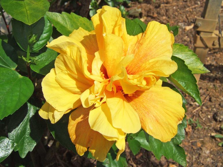 ポリネシアンゴールド・・・鮮やかで、花つきのよいイエローの八重です。白人社会にハイビスカスが紹介された当初には、一重の花よりもこのような八重咲きが好まれたとの記録があります。