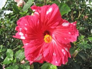ポルガドット・・・水玉という名がついていますが、白いスポットが、丸くなることは少なく、季節によってはただの赤いハイビスカスになってしまいます。白い水玉を見られた人は超ラッキー!!