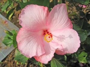 マザリーラブ・・・お母さんの香りがしてきそうな、母性愛を想像させる、ふんわり優しい色をしたハイビスカスです。花全体にふっくら丸みがあり、縁どりがあるのが特徴です。