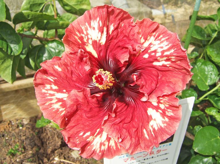 マルーンスター・・・マルーンスターとは、「栗色の星」。中心の暗い部分が星形になっています。類似の品種が思い当たらないユニークな模様の花ですね。