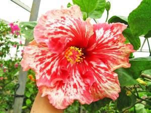 ミントキャンディー・・・キャンディーレッドの花びらに、筆で書きなぐったような白ラインのワイルドな花です。紅白模様の花は沢山ありますが、その中でも、最も大きく咲いてくれる品種の1つです。