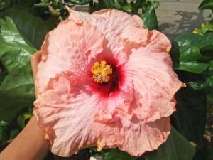 モネ・・・印象派の大家、水と花のある庭を愛した「光の画家」モネの名を頂いた花です。まるでフランス貴婦人のよう。