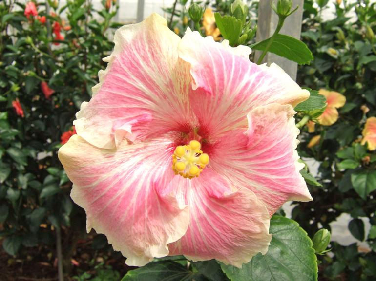 綾姫・・・岐阜の生産者さんが好んで命名する「姫シリーズ」の内の1つです。季節によっては、ピンク色の部分が、やや黄色みを帯びることもあります。