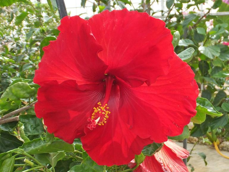 深紅の天使・・・真っ赤な花が次々と咲くすごい品種です。まるでたくさんの天使たちが空から舞い降りてきているよう。思わず吸い込まれてしまいそうな深紅色です。