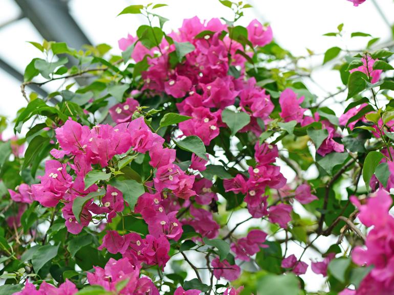 ジンダーピンク(四季咲き)・・・葉は黄色の中斑だが、斑の入り方は不鮮明。苞は中型で鮮やかなピンク色。花もちは良くない。