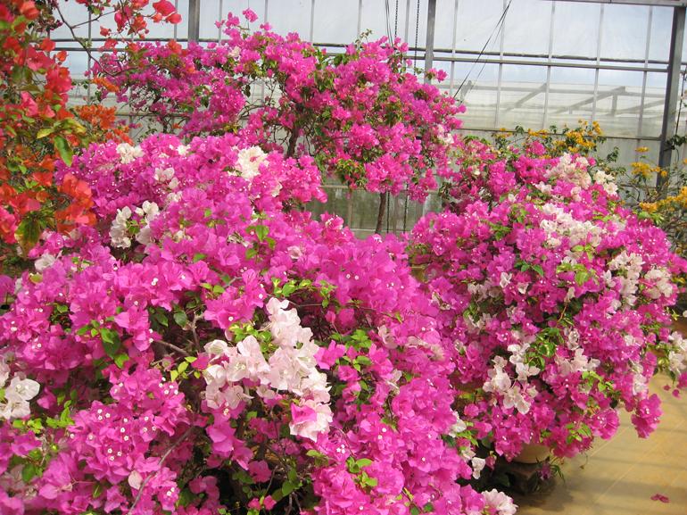 ティンマ(四季咲き)・・・メリーパーマー(スペクタビリス系)の斑入り品種。葉には葉脈に沿って黄白色の斑が不規則に入る。同じ株に白と濃いピンクの花をつけるが、生育状態によって苞の色の比率が変化するため、ピンクだけになるときもある。生育旺盛で成長が早い。