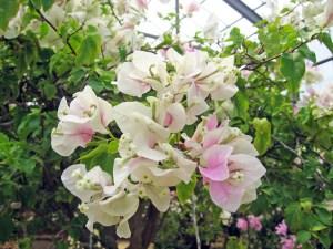パピヨン(四季咲き)・・・メリーパーマーの枝変わり品種。苞は白色で、脈に沿ってピンクが入る。