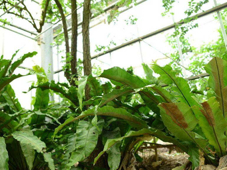 ヤエヤマオオタニワタリ・・・林の中によく自生しており、他の木の幹に着生していることもあります。新芽は天ぷらやサラダにして食べると美味しいです。