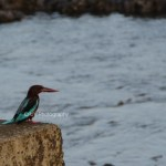 kingfisher - diu beach