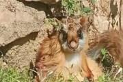 उड़ने वाली दुर्लभ गिलहरी 70 साल बाद उत्तराखंड में फिर से पाई गई