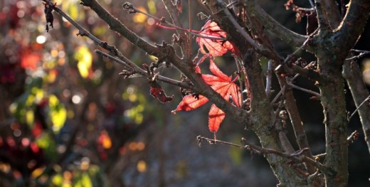 Two red leaves left on tree