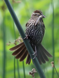 Peg Morgan photo of a female red-winged blackbird with dragonfly meal