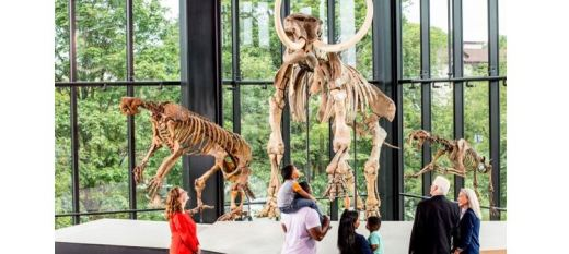 Several groups of people look up at a tall articulated mammoth skeleton in the Burke paleo gallery