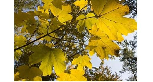 Looking up into sunlit golden maple leaves