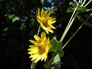 Helianthus mollis (downy sunflower) section D
