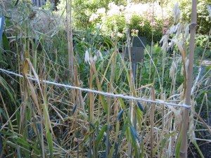 The grain bed has been plundered by the birds this year. The first few years they didn't touch it but they've gotten better at foraging every year, learning to break the seed heads off and drag them to safe places to eat. Anything for the birds.
