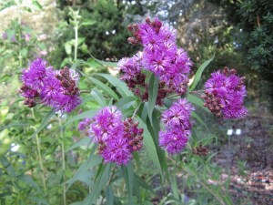Ironweed (Vernonia fasciculata) in the border between sections A and B.