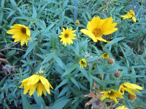 Nuttall's sunflowe (Helianthus nuttallii) in section A comes into its own in September.