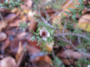 Manuka (Leptospermum scoparium) still flowering in late November.