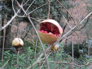 Pomegranate (Punica granatum) fruit that split in the heavy rains.
