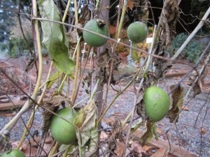 Maypop (Passiflora incarnata) fruit in section D did well in the warmth this summer. It was a bumper year for fruit.