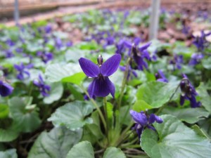 Sweet violets (Viola odorata) in section E are flowering. Usually they flower early, get hit by aphids, then flower a second time in early spring.