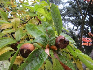 The medlars (Mespilus germanica) are reliable producers. Having tasted bland, pasty medlars from another tree and I came to appreciate what a good cultivar we have. The medlar tree is ten feet from the grapes.