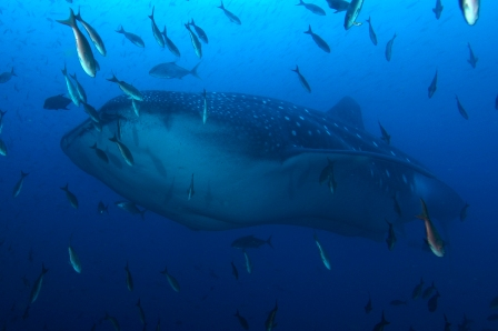 Buddy Dive Starts Galapagos Island Wolf Darwin Itinerary For Scuba Diving With Liveaboard