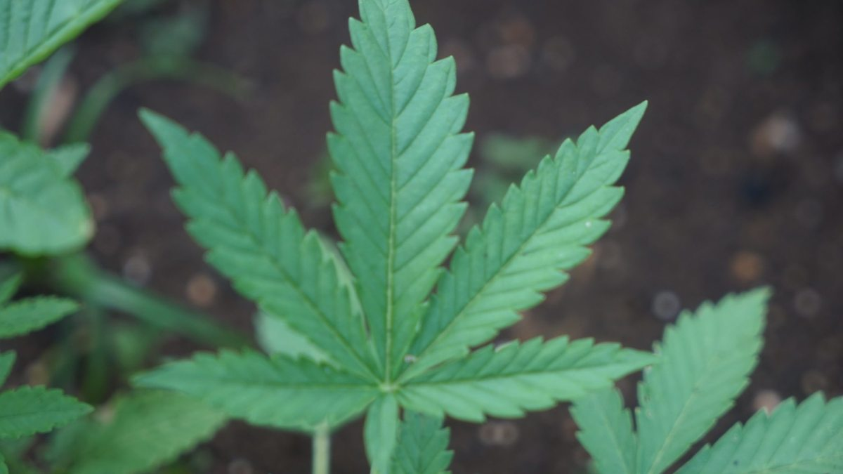 Headed To Jamaica?  Curious about the laws against Marijuana?