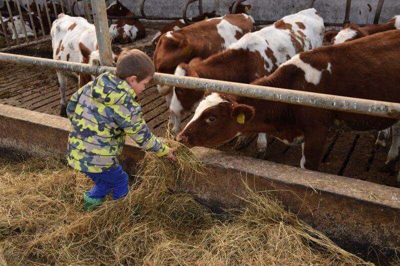 koeien-voeren-boerbert