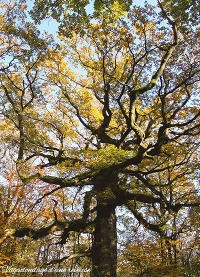 Le chêne des arbre remarquable