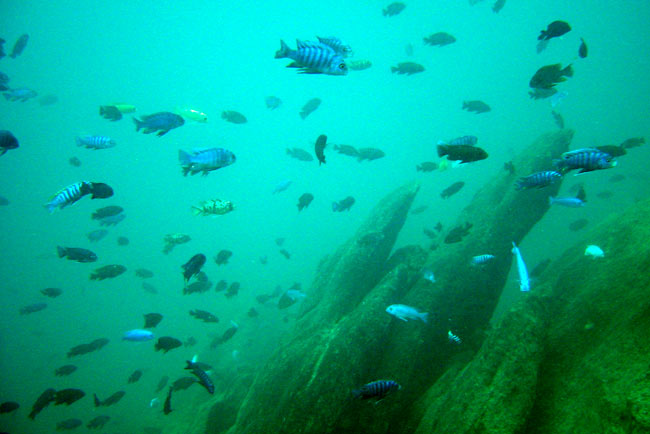 Cychlids in Lake Malawi