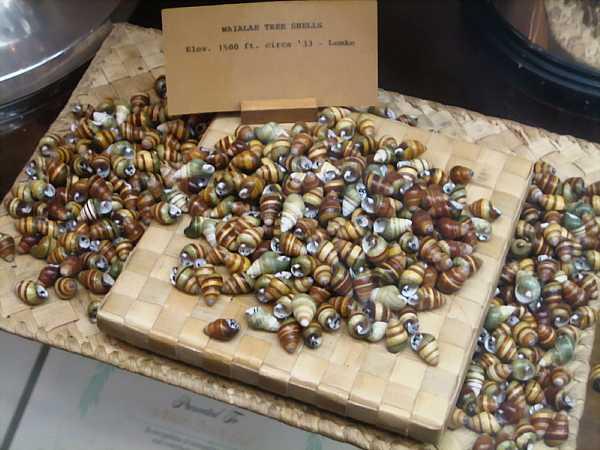O'ahu_tree_snail_shells_DCE