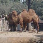 Camel Chapultepec Zoo