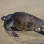 Dead Sea Turtle Mexico