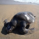Sea turtle on Puerto Angel, Mexico beach killed by fishing net