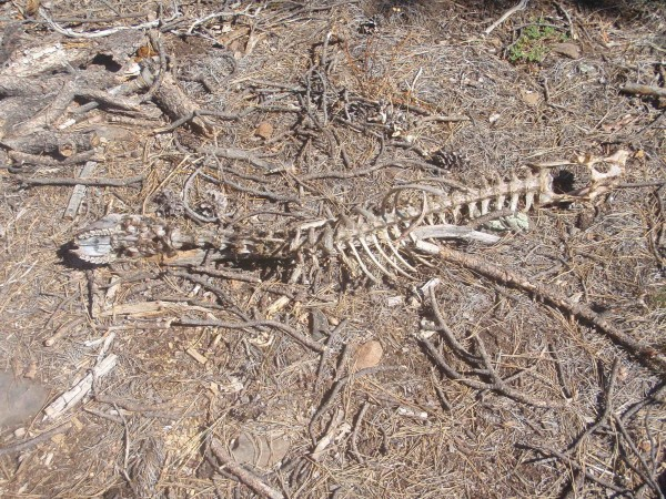 Deer skeleton in Tonto Forest