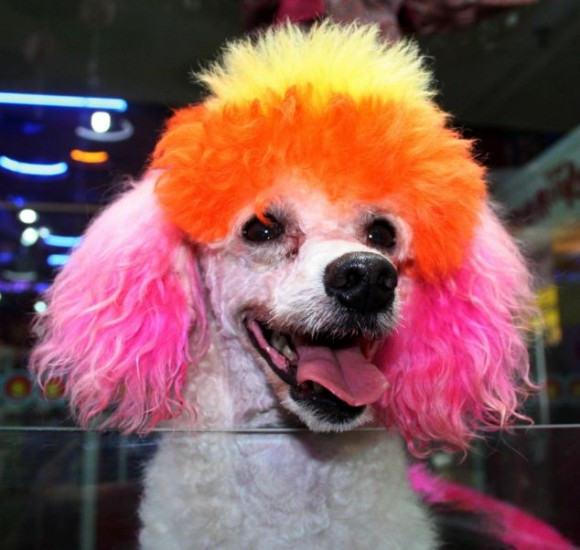 Dyed hair dog in China