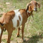 Goat Blocking Path
