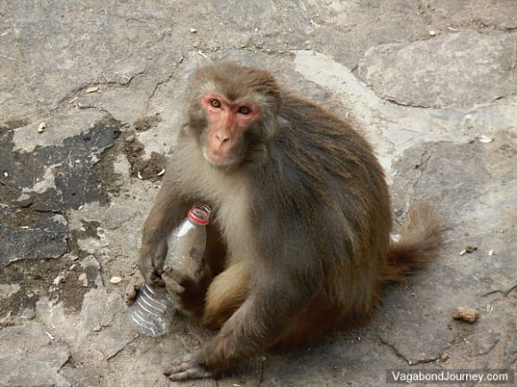 Monkey drinking out of plastic soda bottle