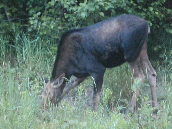 A young moose in Maine on the side of the road