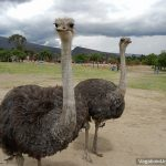 The Ostriches of Villa de Leyva