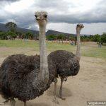 The Ostriches of Villa de Leyva