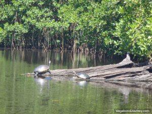 Turtles Log Mangrove