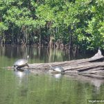 Turtles Log Mangrove